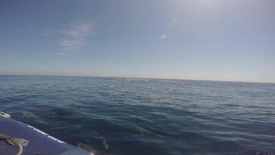 ORCA / Killer Whale