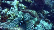 3 Legged Hawksbill Turtle Crashes Into Anemone And Attacked By Clark Anemonefish