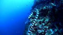 Banded Sea Krait (Laticauda Colubrina) Moving On Reef