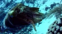Broadclub Cuttlefish (Sepia Latimanus) Hiding Eggs In Coral