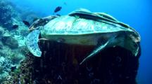 Green Sea Turtle (Chelonia Mydas) Sleeping In Giant Barrel Sponge