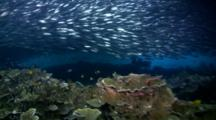 Huge School Of Silverside Fishes (Atherinidae) On Top Of Coral Reef