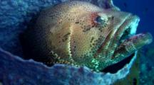 Brown-marbeled grouper (Epinephelus fuscoguttatus) Laying In Barrel Sponge