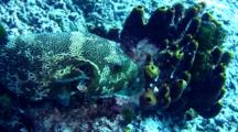 Map Pufferfish (Arothron Mappa) Eating Sponge