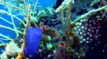 Orangutan Crab (Achaeus Japonicus) Behind Tunicate