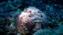 Reef Stonefish (Synanceia Verrucosa) Moving