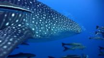 Whale Shark (Rhincodon Typus) With Cobias From Behind
