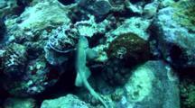 Bamboo Shark (Chiloscyllium Griseum) Swimming