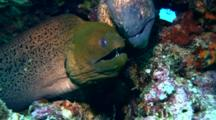 Giant Moray And Yellow-Edged Moray Eel Together