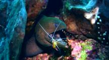 Giant Moray Eel (Gymnothorax Javanicus) Cleaned By White Banded Cleaner Shrimp