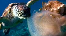 Green Sea Turtle (Chelonia Mydas) Eating Jellyfish