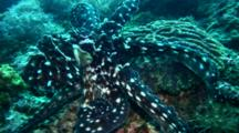 Reef Octopus (Octopus Cyanea) Attacked By Damselfish