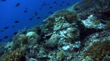 Reef Octopus (Octopus Cyanea) Mating