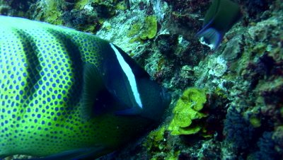 6 banded angelfish (Pomacanthus sexstriatus) eating