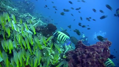 6 banded angelfish (Pomacanthus sexstriatus) with group of bigeye snapper