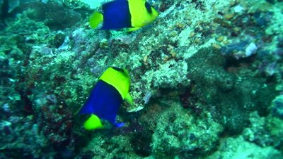 Blue-and-gold angelfish (Centropyge bicolor)
