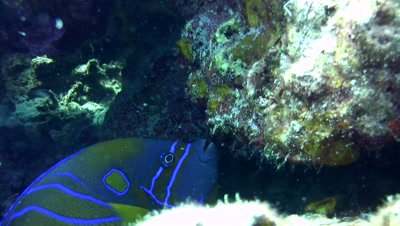 Blue-ringed angelfish (Pomacanthus annularis) eating barrel sponge