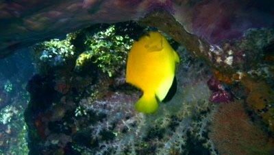 Herald s angelfish (Centropyge heraldi)