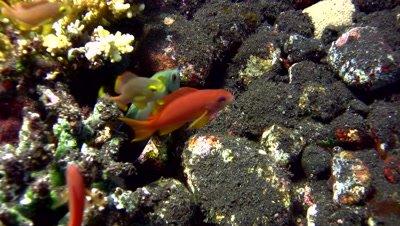 Pearl-scaled angelfish (Centropyge vroliki)