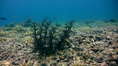 Burrowing Sea Cucumber (Neothyonidium magnum) eating