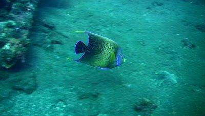 Semicircle angelfish (Pomacanthus semicirculatus) eating