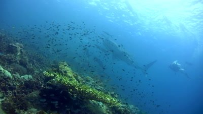Whaleshark (Rhincodon typus) swimming on top of reef