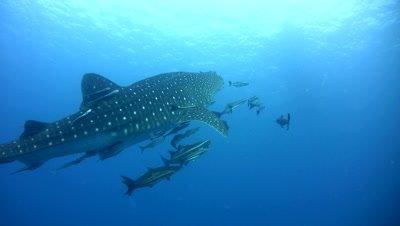 Whaleshark (Rhincodon typus) swimming up