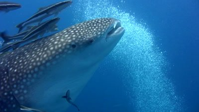 Whaleshark (Rhincodon typus) swallowing bubbles