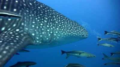 Whaleshark (Rhincodon typus) from side to back