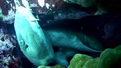 Bamboo shark (Chiloscyllium griseum) mating
