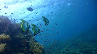 Tall-fin batfish (Platax teira) on top of wreck