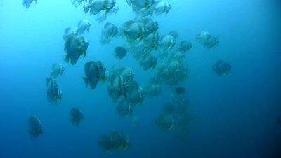 Tall-fin batfish (Platax teira) in school