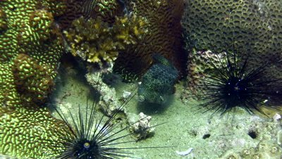 Shortnose boxfish (Ostracion nasus)