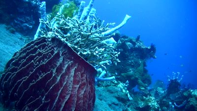 Giant barrel sponge (Xestospongia testudinaria) full of corals