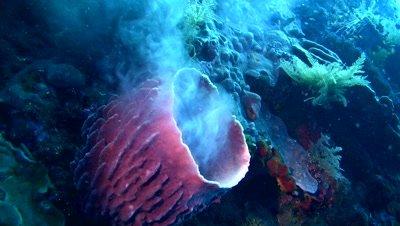 Barrel sponge (Callyspongia sp.) spawning,a very unique moment