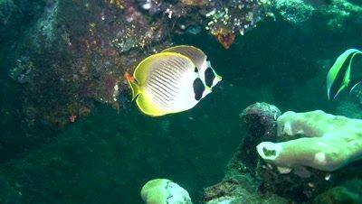 Panda or Eye-patch butterflyfish (Chaetodon adiergastos)