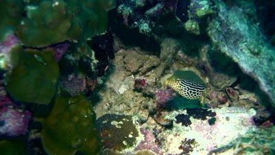 Solor boxfish (Ostracion solorensis),female