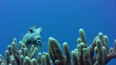 Longhorn cowfish (Lactoria cornuta) over soft coral