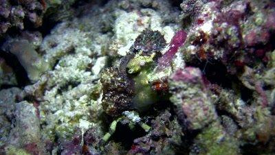 Decorator spider crab (Cyclocoeloma tuberculata) covered in amemone