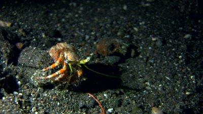 Anemone hermit crab (Dardanus pedunculatus) without shell