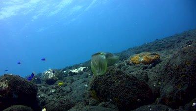 Needle cuttlefish (Sepia aculeata)