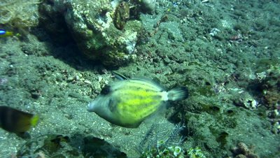 Spectacled Filefish (Cantherhines fronticinctus)