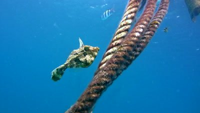 Strapweed filefish (Pseudomonacanthus macrurus)