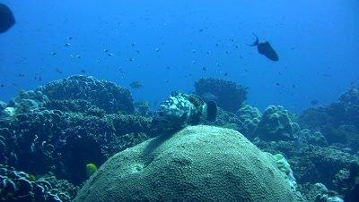 White-spotted grouper (Epinephelus caeruleopunctatus)