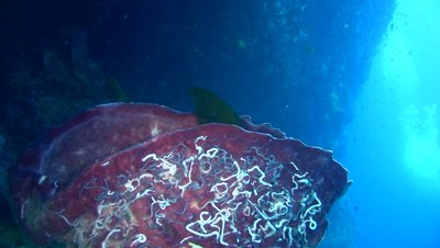 Blue-spotted grouper (Cephalopholis cyanostigma) in barrel sponge