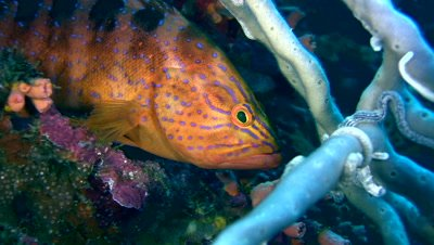Blue-spotted grouper (Cephalopholis cyanostigma) close up