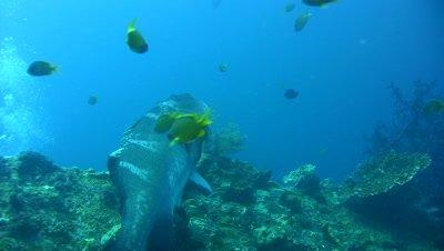 Blacksaddled grouper (Plectropomus laevis) being cleaned