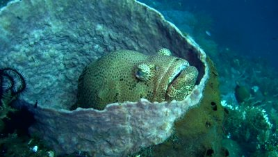 Brown-marbeled or malabar grouper (Epinephelus malabaricus) inside barrel sponge