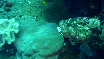 Brown-marbeled or malabar grouper (Epinephelus malabaricus) opening mouth