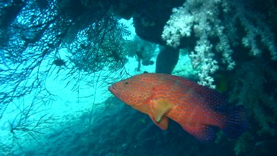 Coral grouper (Plectropomus maculatus) swimming upside down